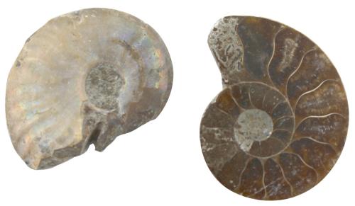 Ammonit-Paar