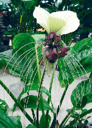 Samen »Fledermausblume - Nepalesische Riesen«.