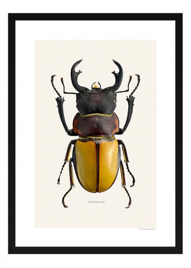 Fotodruck »Gelber Hirschkäfer«. Odontolabis cypri.