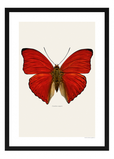 Schmetterling Foto »Cymothoe sangaris«.