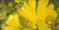 Samen »Ginkgobaum«. Bild 1