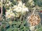 Samen »Moringa oleifera«. Bild 1