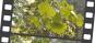 Samen »Ginkgobaum«. Bild 2