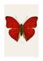 Schmetterling Foto »Cymothoe sangaris«. Bild 2