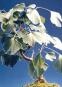 Samen »Ginkgobaum«. Bild 3
