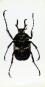 Rosenkäfer in Acrylblock gegossen. »Dicranocephalus Wallichi Bourgoini«. Bild 3