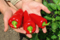 Saatgut-Box »Gemüseraritäten«. Bild 5