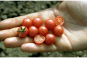 Saatgut-Box »Tomaten«. Bild 5